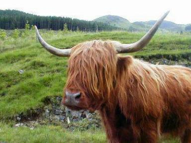Hairy Highland Cow, near Ben nevis